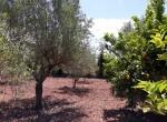 olive trees and lemon trees